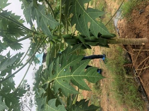 交保木瓜種植三個半月已結實纍纍。