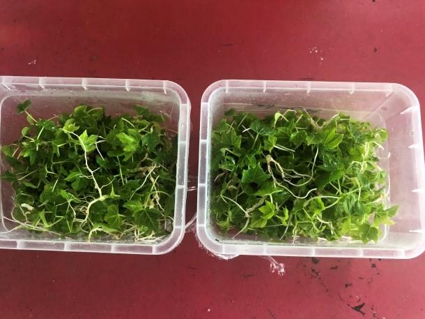 轉交SOFRI 600棵組培祼根木瓜苗,每盒可裝100-150株小苗。